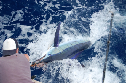 albufeira fishing blue marlin