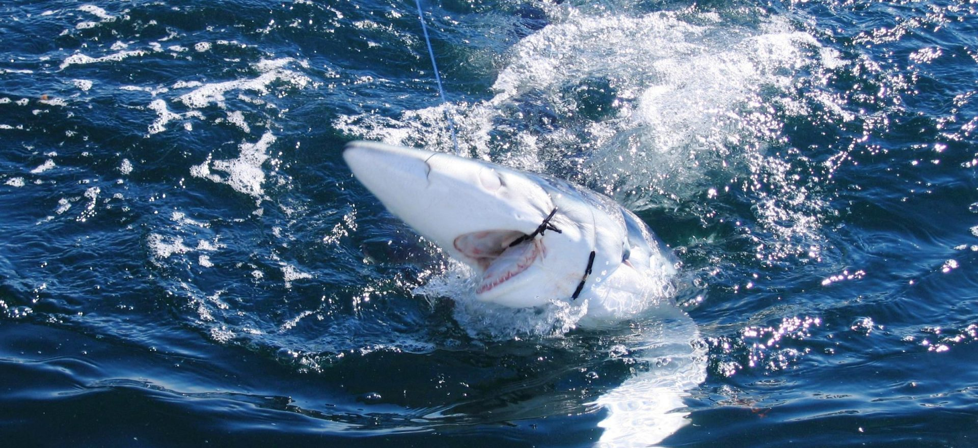 algarve shark fishing